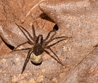 Spideregg2FB.jpg
